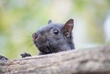 Free Peaking Squirrel. Stock Photo - 46399480