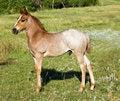 Free Quarter Horse Foal Stock Photos - 4640803