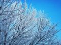 Free Snow-covered Tree Royalty Free Stock Photos - 4645008