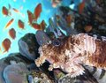 Free Lion Fish Stock Images - 4647074