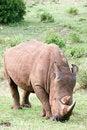 Free White Rhino Royalty Free Stock Photos - 4648418
