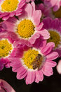 Free Chrysanthemum Bloom Royalty Free Stock Photo - 4648455