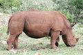 Free White Rhino Royalty Free Stock Image - 4648546