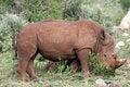 Free White Rhino Stock Photography - 4648582