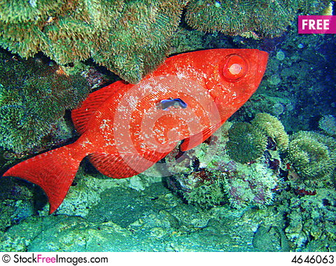A large red fish from the red sea free stock images for Red sea fish