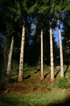 Free Pines Trunks Stock Image - 4640591