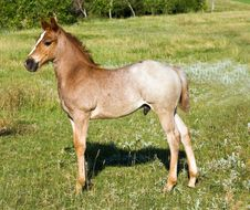 Quarter Horse Foal Stock Photos