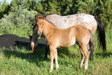 Quarter Horse Foal And Mare Royalty Free Stock Photo