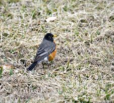 Free Robin Royalty Free Stock Images - 4641579