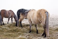 Free Horses In Snow Stock Photo - 4642190