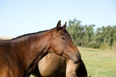 Free Bay Quarter Horse Mare Royalty Free Stock Image - 4642736