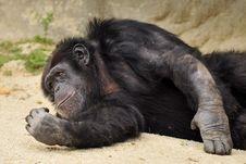 Free Tired Chimp Royalty Free Stock Photo - 4643925