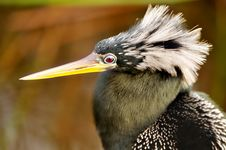 Free Anhinga Portrait Stock Photography - 4644002