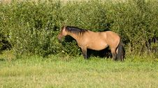 Free Dun Mare In Pasture Royalty Free Stock Image - 4644146