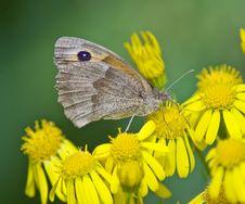 Free Butterfly On Ragwort Stock Photos - 4644153
