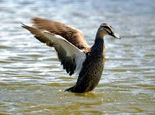 Wild Duck 3 Royalty Free Stock Image