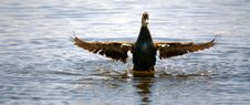 Wild Duck 4 Stock Photography