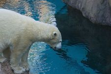 Polar Bear Looking In The Water Stock Image