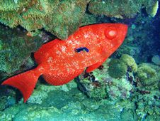 A Large Red Fish From The Red Sea Stock Photos