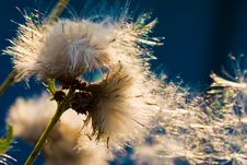 Free Dandelion On The Sun Stock Photography - 4646852