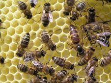 Bee Uterus Stock Image