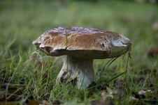Old Cep Mushroom, Boletus Edulis Stock Photo