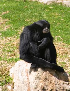 Monkey In Relaxed Pose Royalty Free Stock Photo