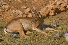 Free Doe In Jerusalem Zoo Stock Photo - 4648340
