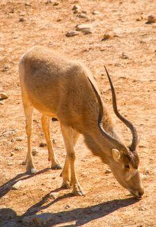 Free Longhorn Antelope Stock Photos - 4648363