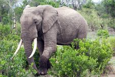 Free Elephant In The Reserve Royalty Free Stock Photography - 4648377