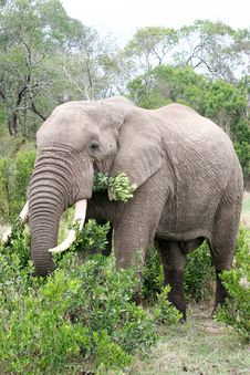 Free Elephant In The Reserve Stock Photo - 4648470
