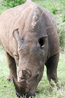 Free White Rhino Royalty Free Stock Image - 4648506