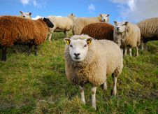 Free Sheep In Spring Royalty Free Stock Photography - 4648517