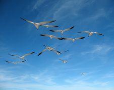 Free Seagulls Royalty Free Stock Photo - 4649585
