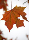 Free Single Red Maple Leaf Stock Photography - 4651412