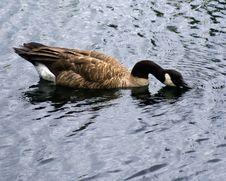 Free Duck 1 Stock Photo - 4650400