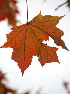 Single Red Maple Leaf Stock Photography