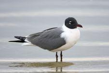 Free Laughing Gull Displaying Mating Plumage Royalty Free Stock Images - 4652019