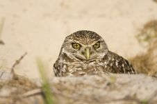 Free Female Burrowing Owl Looks Out From The Den Royalty Free Stock Images - 4652399