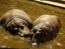 Two Hippo And Duck Royalty Free Stock Photos
