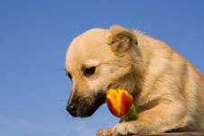 Free Puppy Dog Take Red-yellow Tulip In Forefoots Stock Photos - 4652803