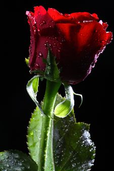Dark Red Rose With Water Droplets. Stock Photo