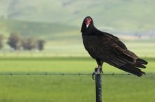 Free Turkey Vulture On Fence Royalty Free Stock Photo - 4654105