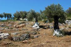 Free Olive Trees Stock Photo - 4655190