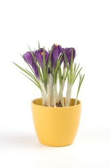 Free Violet Crocuses In A Pot Stock Photo - 4655470