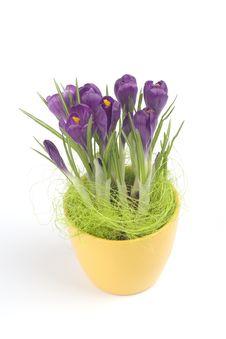 Free Violet Crocuses In A Pot Stock Photos - 4655483