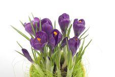 Free Violet Crocuses In A Pot Stock Photos - 4655493