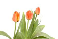 Free Tulips Stock Photos - 4655553