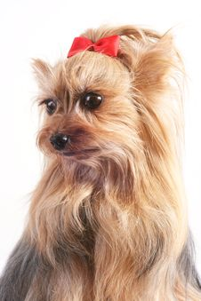 Free Yorkshire Terrier Royalty Free Stock Image - 4656016