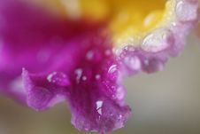 Free Dew On Orchid Royalty Free Stock Photo - 4656025